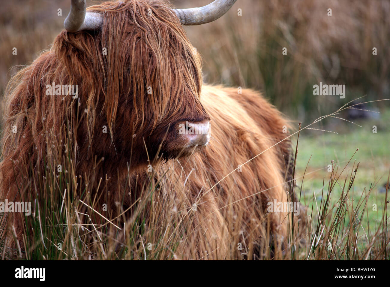 Highland cow lying on the grass on the Isle of Mull - Stock Image