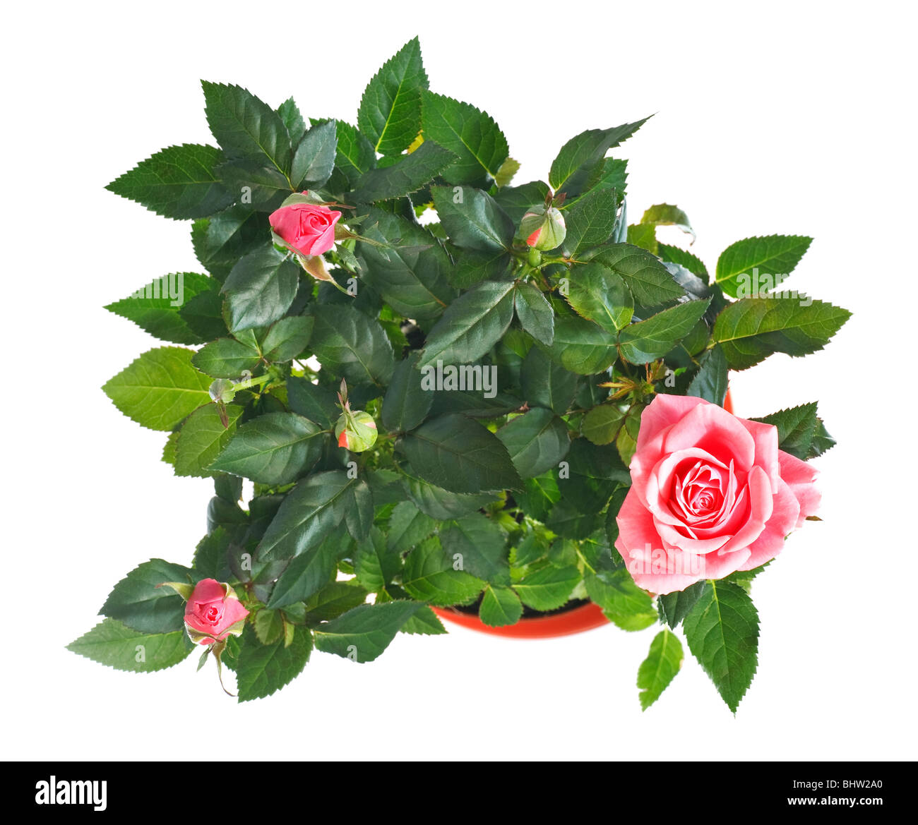 A pot of beautiful rose flowers isolated on white background - Stock Image