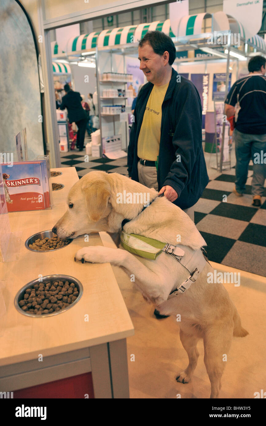 guide dog at crufts - Stock Image