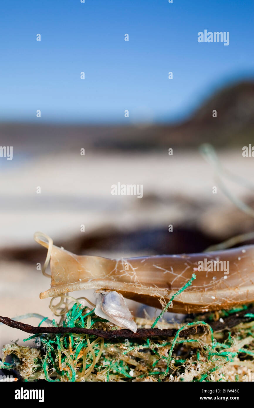 Mermaid's purse with buoy barnacle attached; - Stock Image