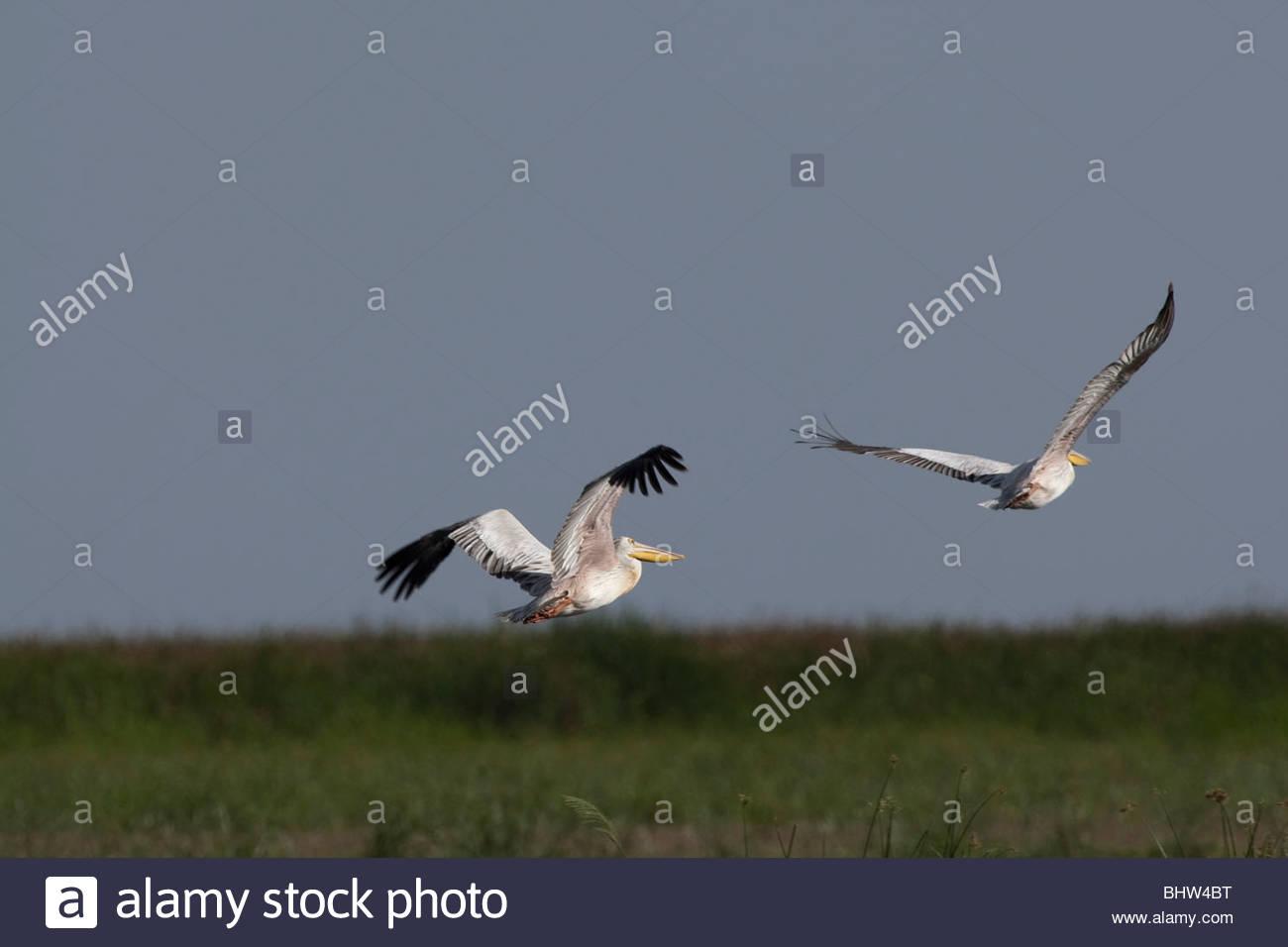 Two Great White Pelicans flying at Lake Manyara National Park, Tanzania - Stock Image