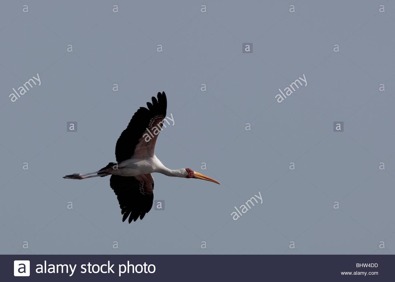 A flying Yellow-billed Stork at Lake Manyara National Park, Tanzania. - Stock Image