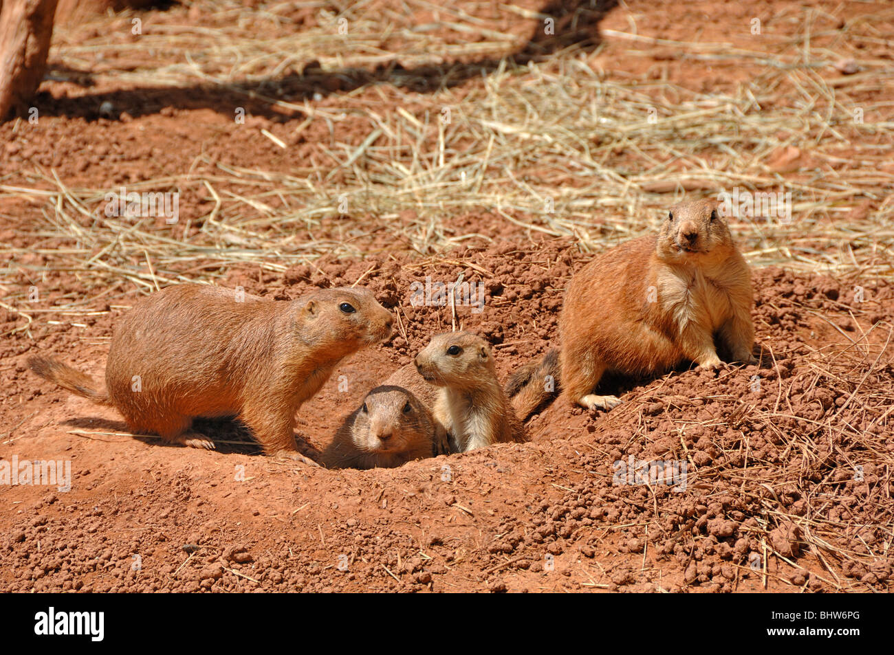 Prairie dogs at Reptile Gardens, Rapid City, South Dakota, USA - Stock Image