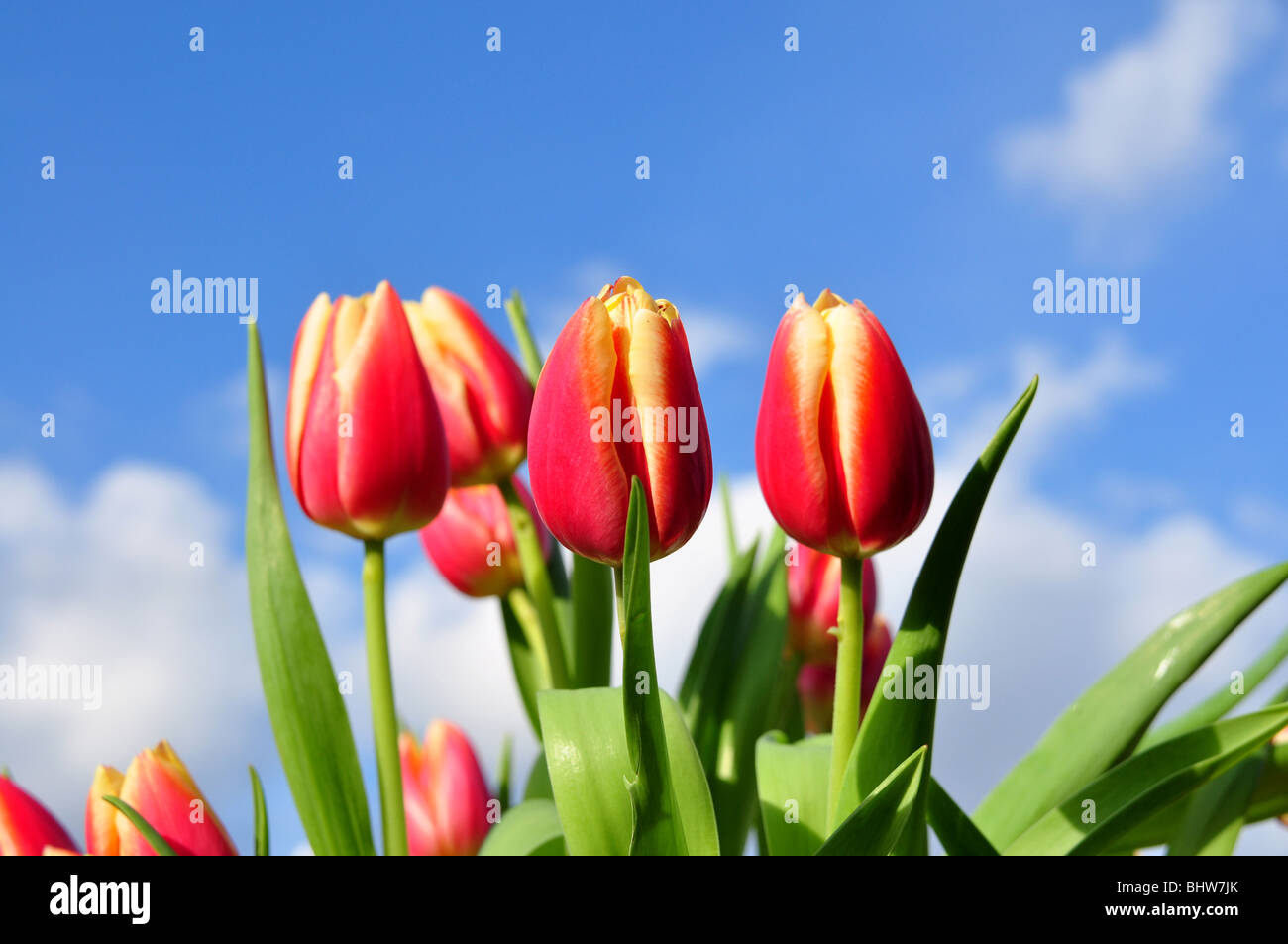 Red tulip arrangement with a blue sky background. Shallow depth of field, focus on centre tulips. - Stock Image