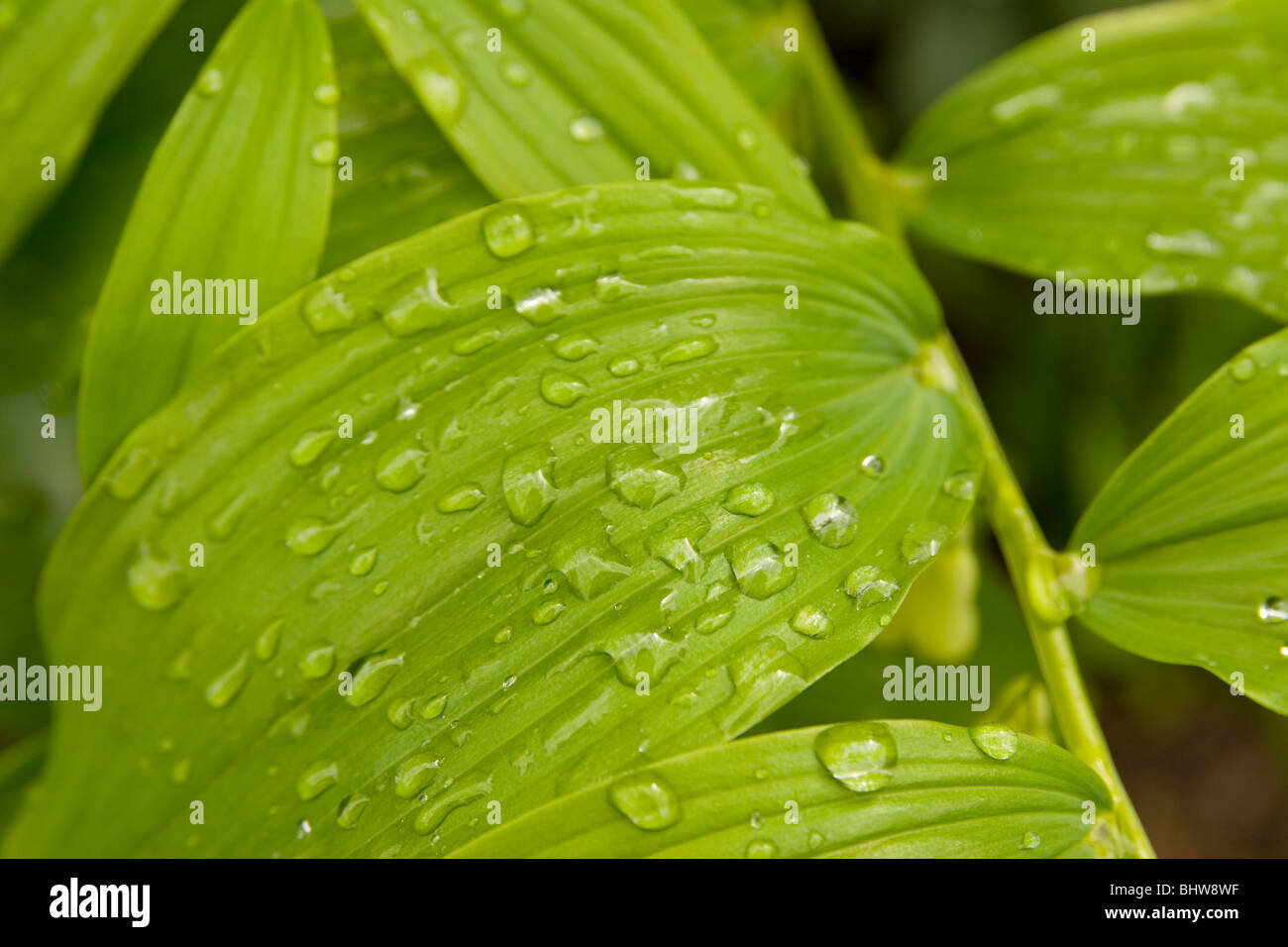 Rain drops on Jacobs Ladder leaves Stock Photo