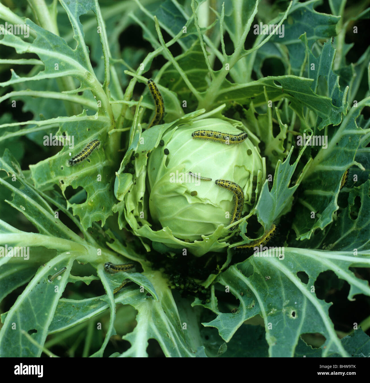 Large white butterfly (Pieris brassicae) caterpillars on decimated cabbage plant - Stock Image