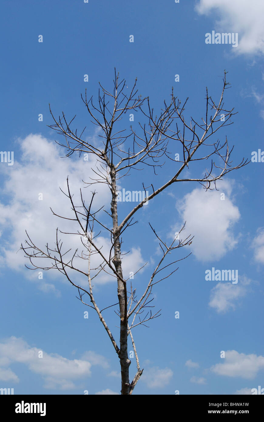 Leafless Tree in cloudy sky background.Scenic forest tree View from Kerala,India - Stock Image