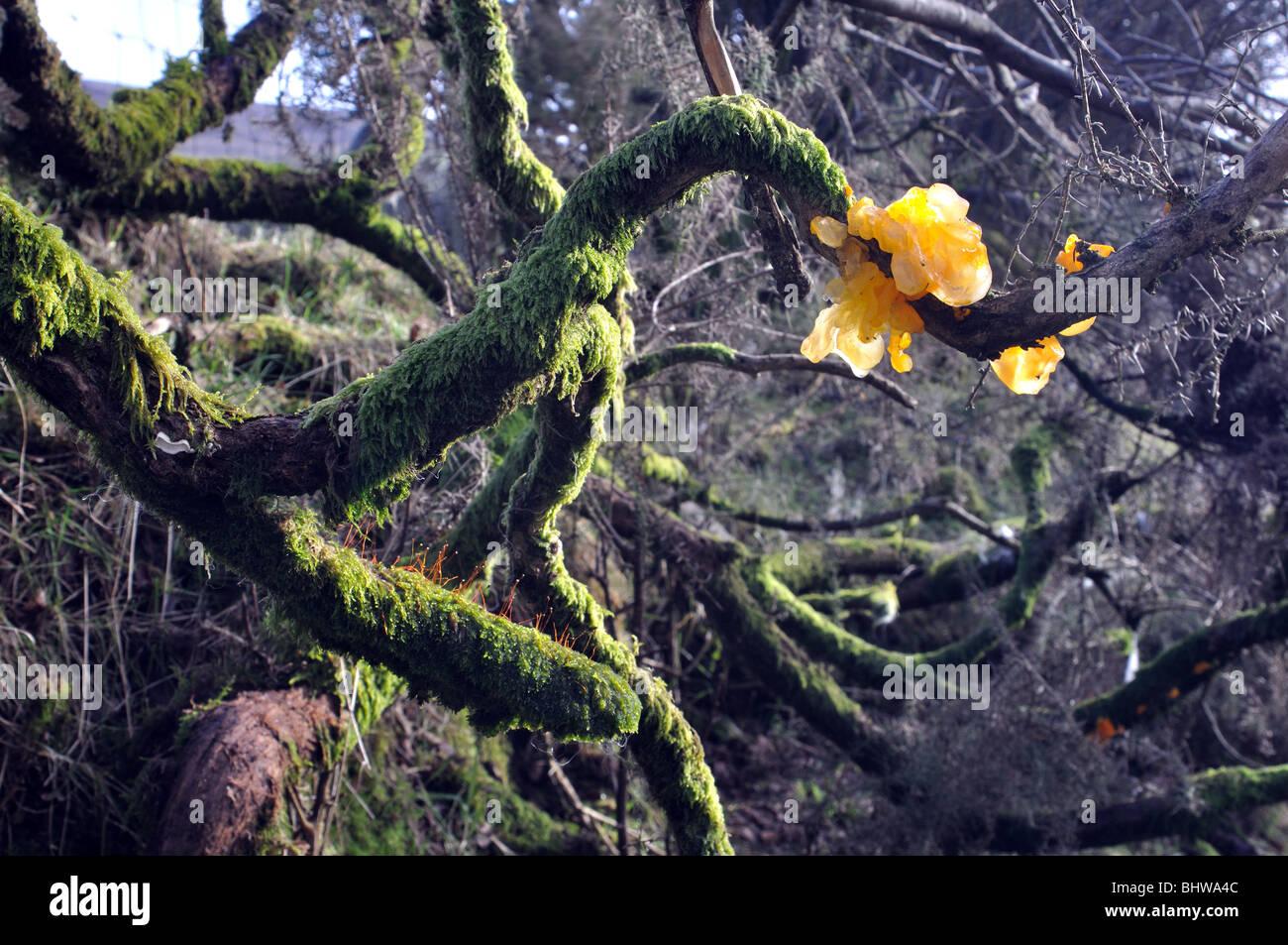 fungi yellow brain fungus, pembrokeshire, wales, great britain - Stock Image