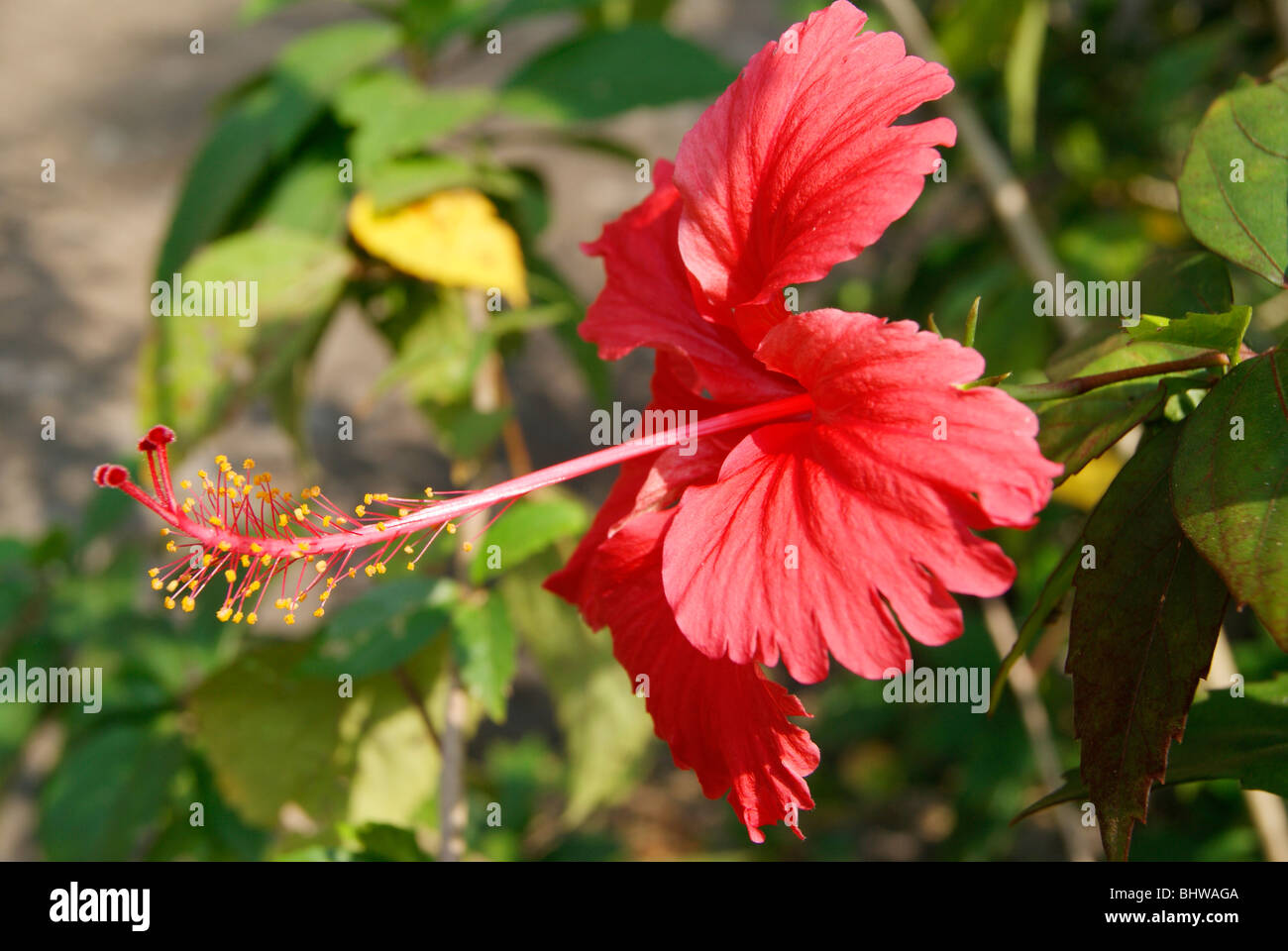 Cute And Fresh Red Shoe Flower Hibiscus Rosa Sinensis Stock Photo