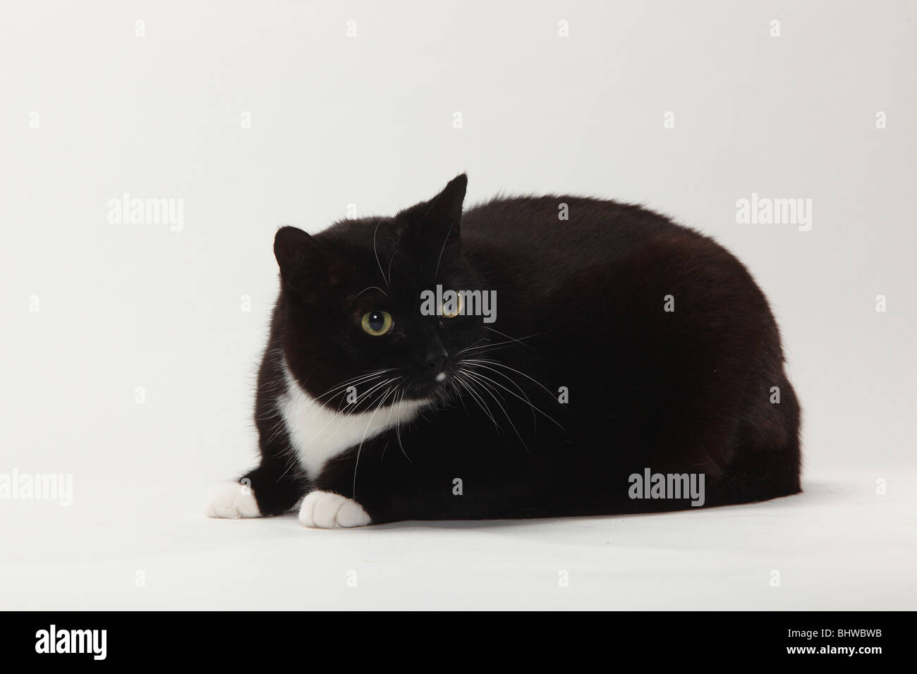 Domestic Cat, too fat / overweight - Stock Image