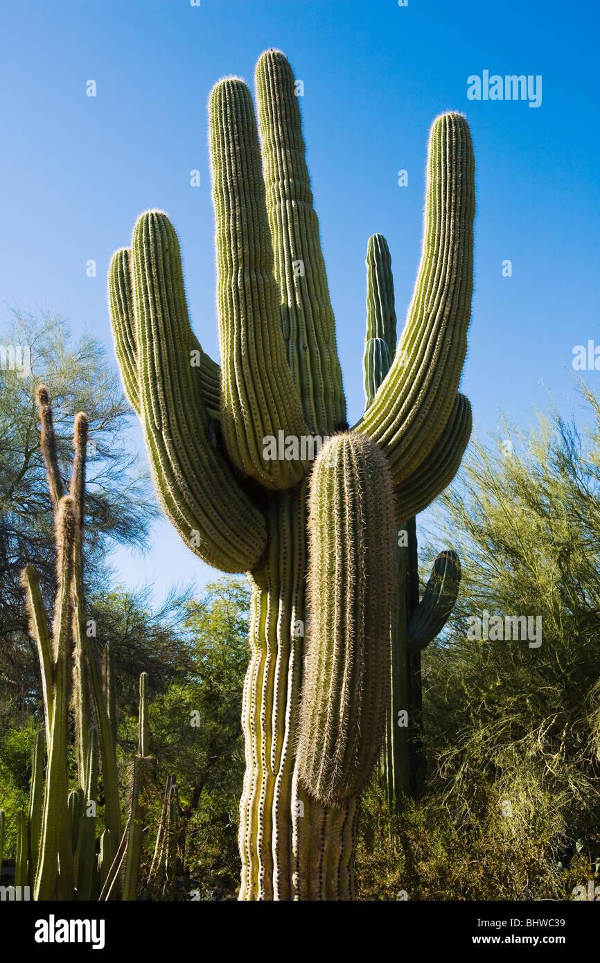 A large Saguaro cactus, Phoenix, Arizona, USA. - Stock Image