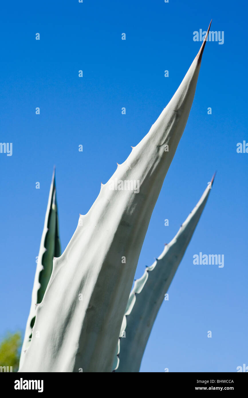 An Agave plant and blue sky. - Stock Image