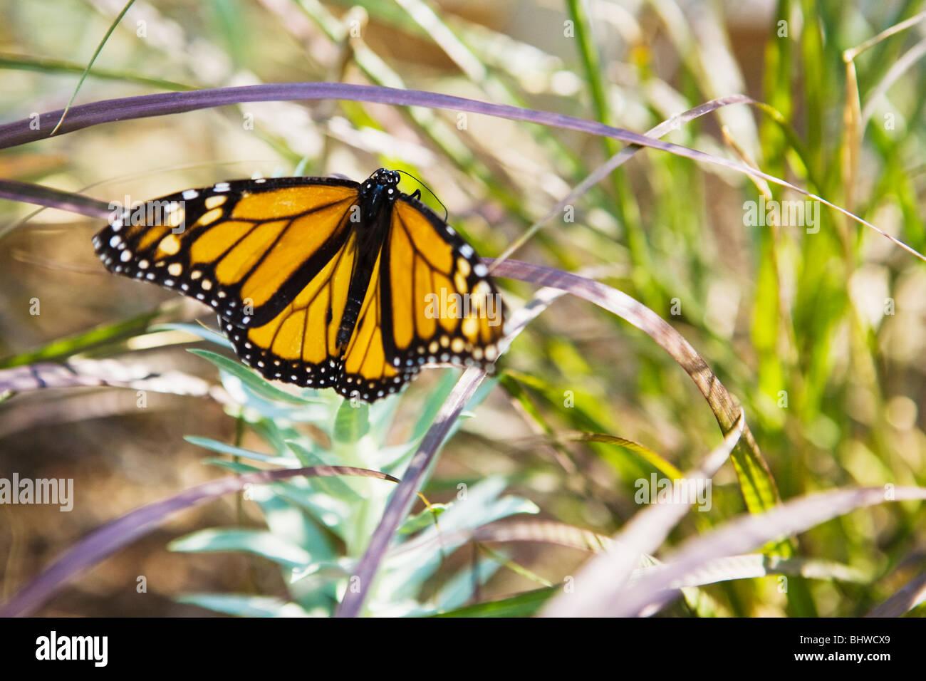 A Monarch Butterfly perched on a tree, Phoenix, Arizona, USA. - Stock Image