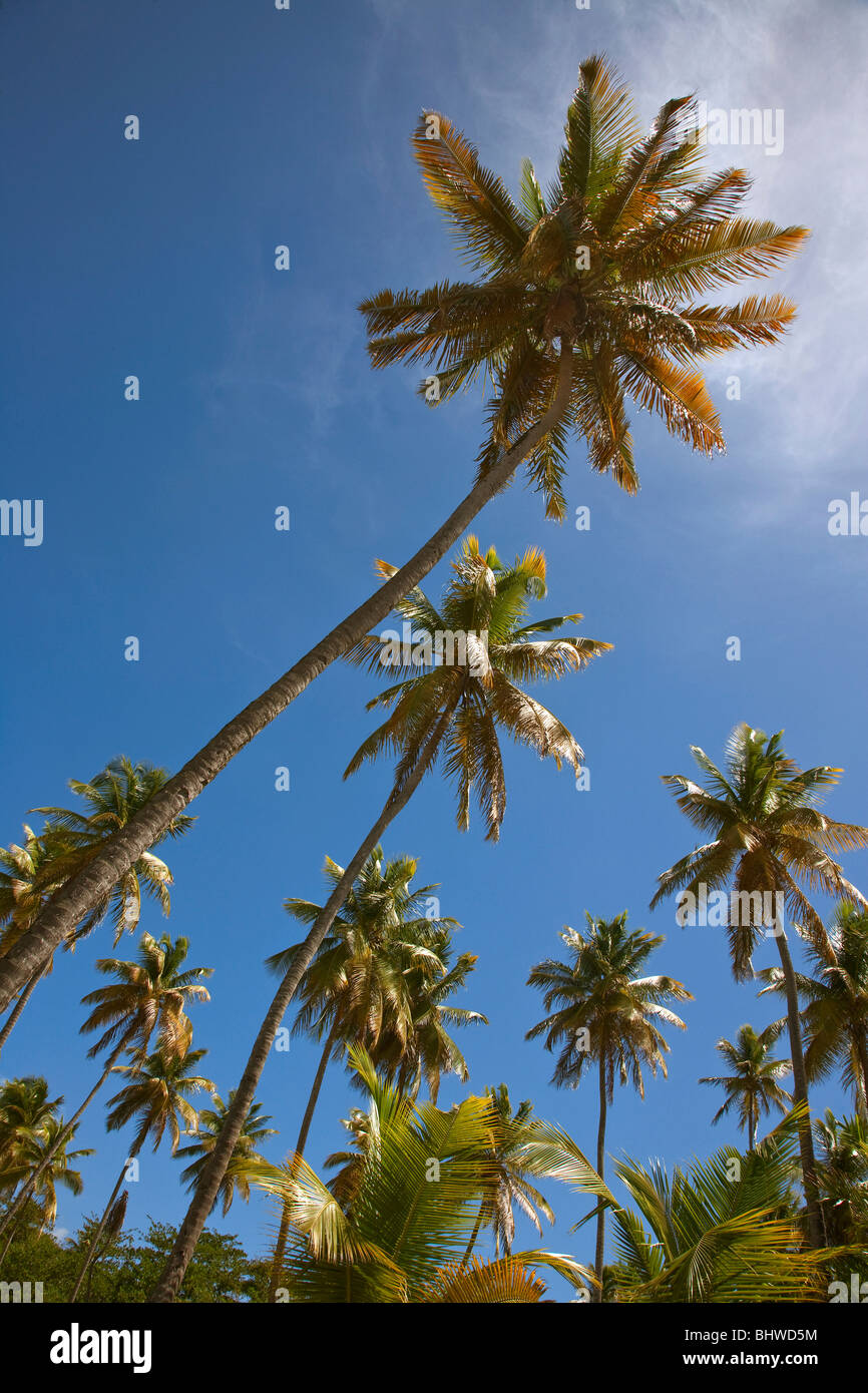Looking up at palm trees photographed from a low viewpoint with palm fronds highlighted against a blue sky - Stock Image