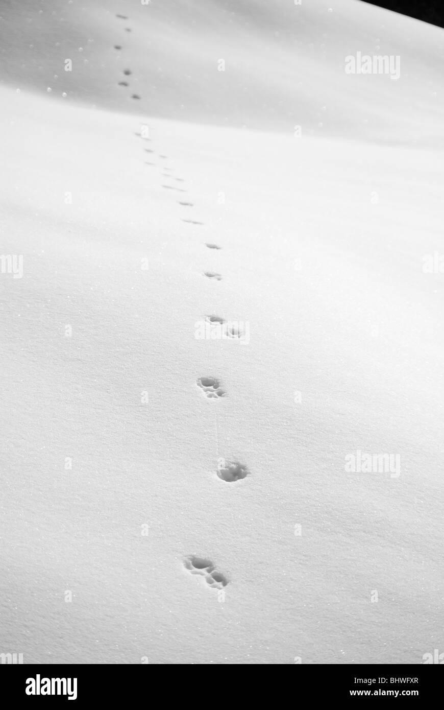animal tracks in the snow - Stock Image