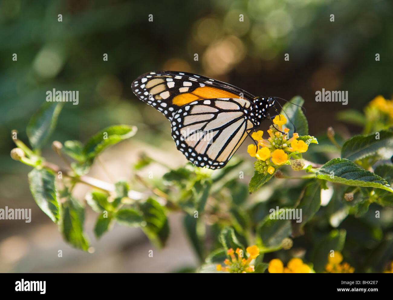A Monarch Butterfly feeding from flowers, Phoenix, Arizona, USA. - Stock Image