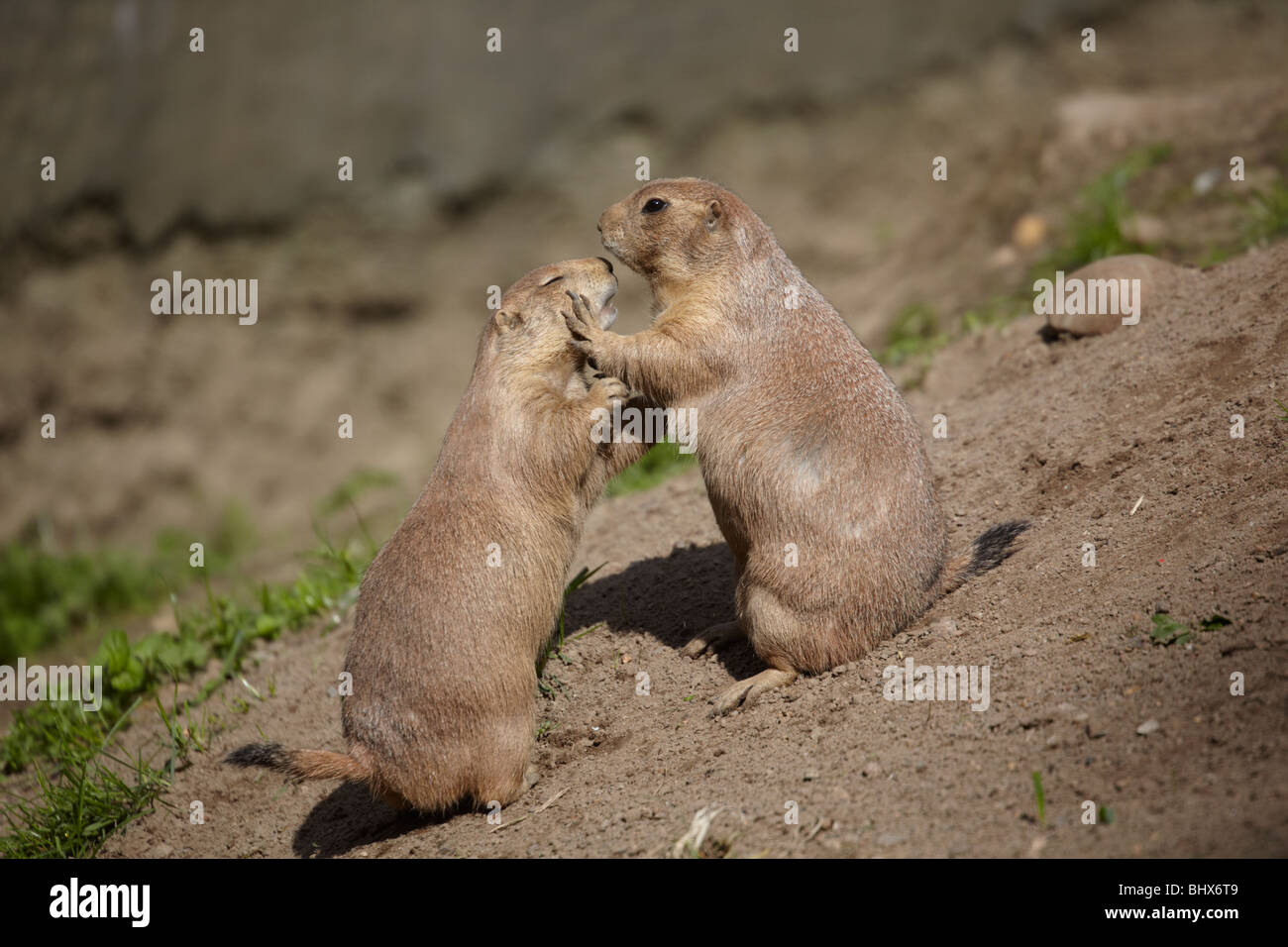 Two prairie dogs stock photos two prairie dogs stock images alamy two prairie dogs stock image m4hsunfo