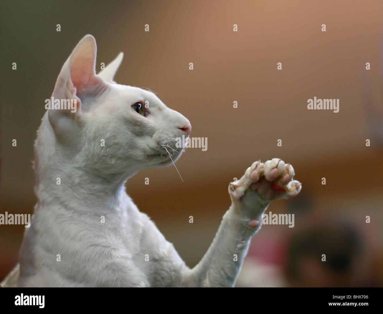 Pedigree hairless Cat - white Cornish Rex. The Cornish Rex has no hair except for down. Stock Photo