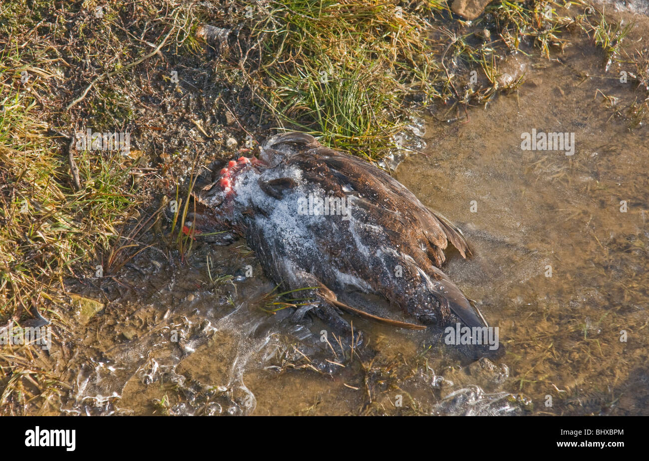 Dead grouse in a frozen pool in Swaledale, Yorkshire. A victim of the hard winter of 2010. - Stock Image