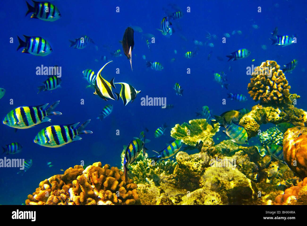 Coral fish at Biyadhoo Island Reef , Indian Ocean , South Male Atoll , Maldives - Stock Image