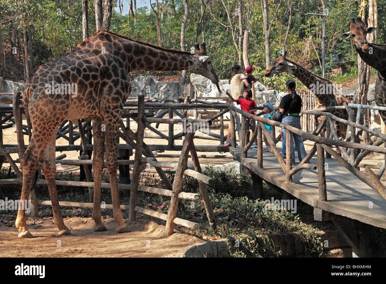 Giraffe meets visitors at Chiang Mai Zoo, Thailand - Stock Image