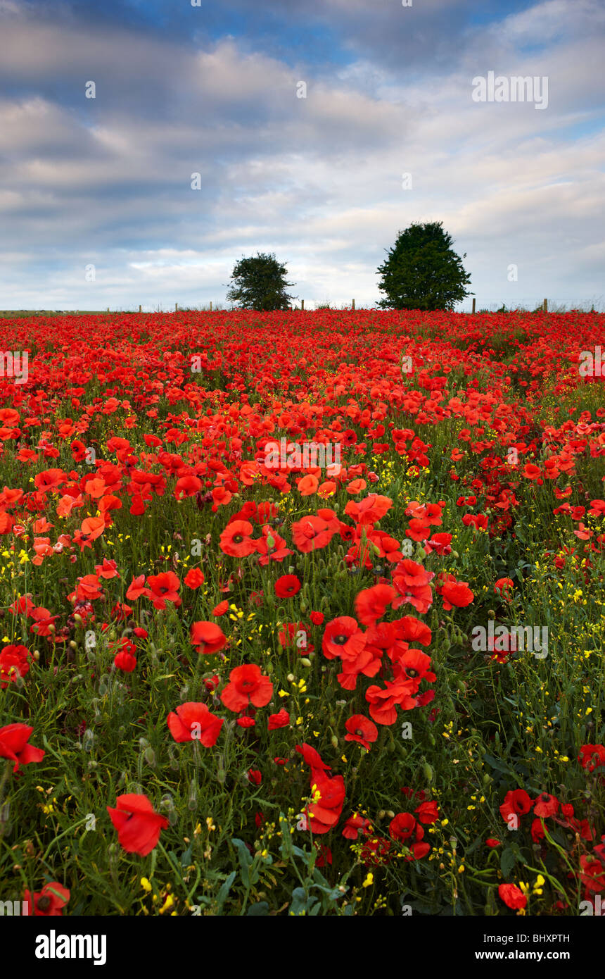 Poppies growing amongst the crops on arable land, South Downs East Sussex - Stock Image