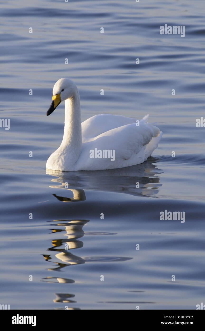 Whooper Swan, Welney Wildfowl and wetlands trust, Norfolk England UK - Stock Image