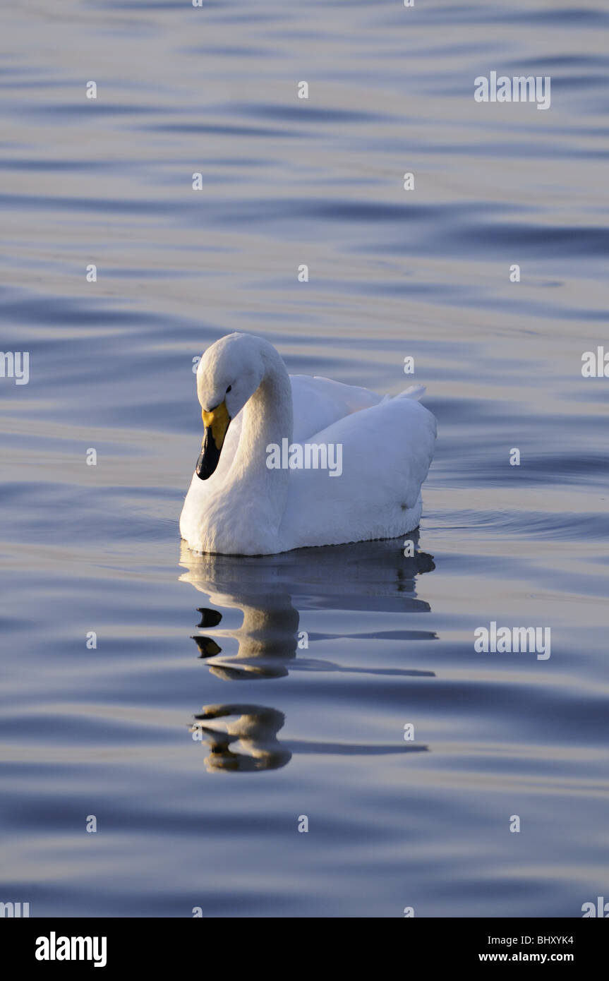 Whooper Swan, Welney Wildfowl and wetlands Trust, Norfolk, England UK - Stock Image