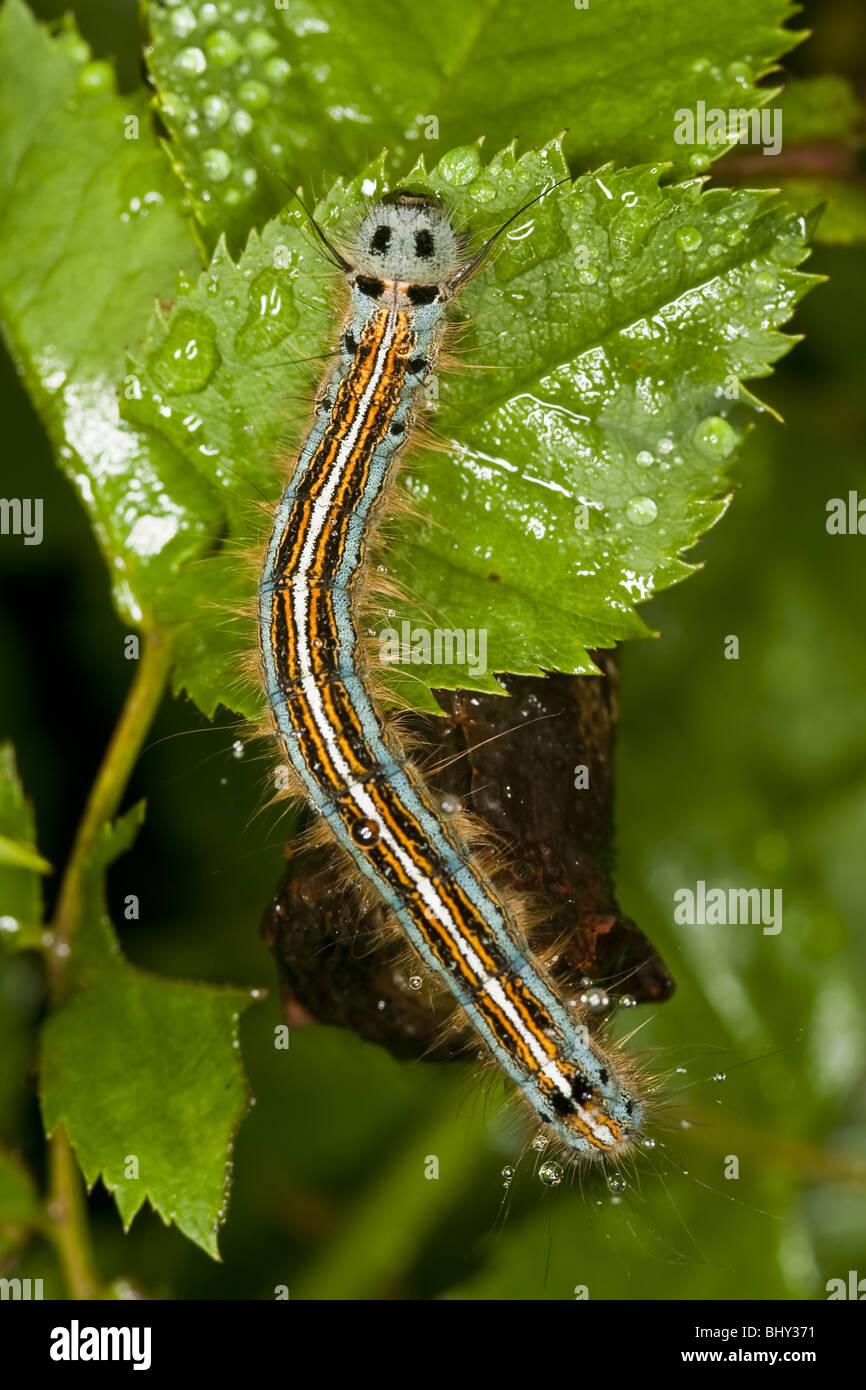 The Lackey (Malacosoma neustria) caterpillar - Stock Image