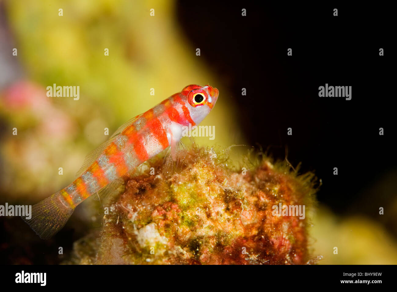 Candycane Dwarf Goby (Trimma sp.) - Milne Bay, PNG - Stock Image