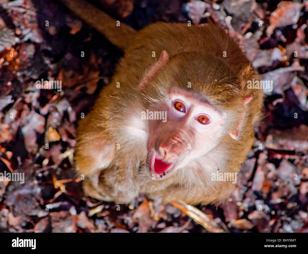 A young Hamadryas baboon looking up and howling at the camera. - Stock Image