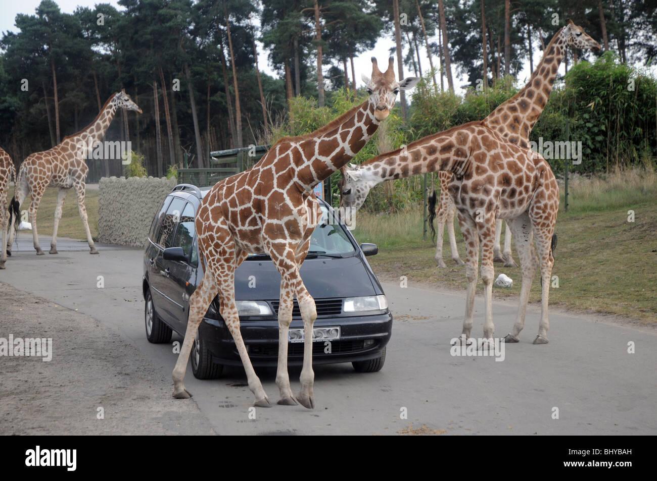 Giraffes In Serengeti Park In Hodenhagen Germany