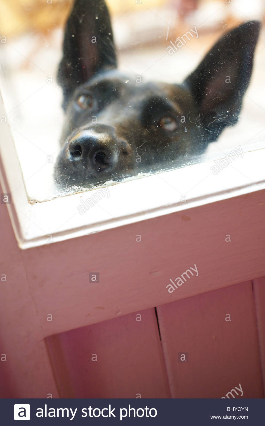 An black dog muzzle against the window door - Stock Image
