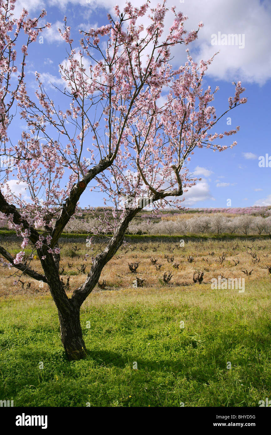 Almond flower trees field in spring season pink white flowers stock almond flower trees field in spring season pink white flowers mightylinksfo