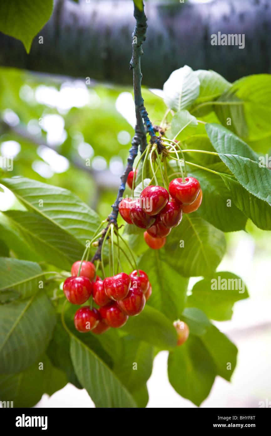 Cherries on a tree - Stock Image