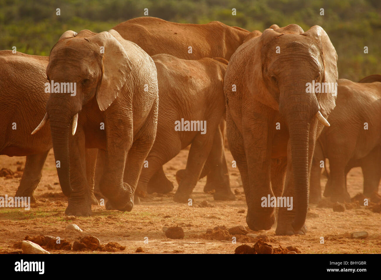 Elephants in the dust at Ado Elephant Park in South Africa Stock Photo