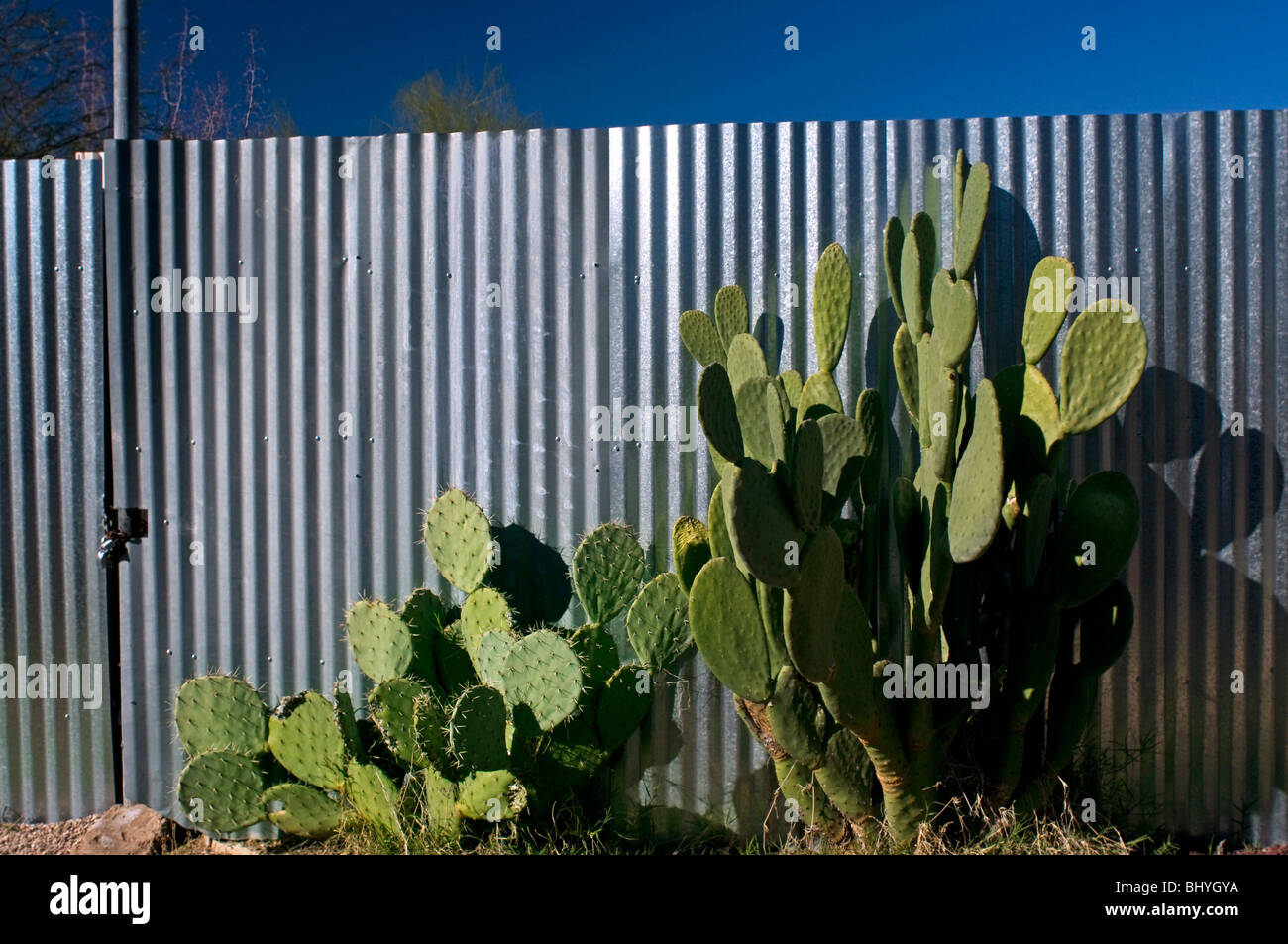 Two large beavertail cactus plants against galvanized steel fence in urban environment in Tucson, AZ - Stock Image