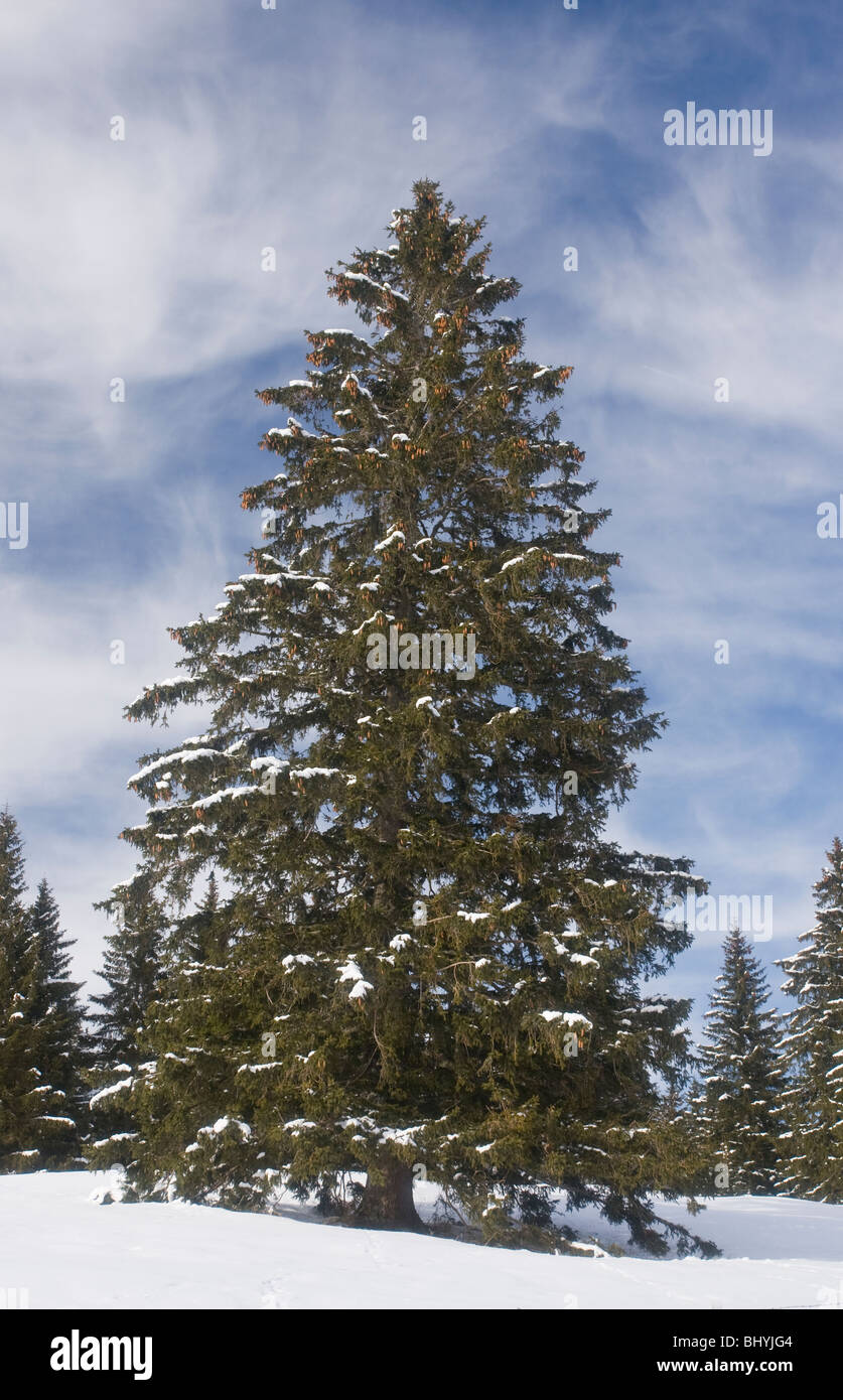 Norway Spruce ( Picea abies ) tree in winter snow, on the Col de Faucille, Jura Mountains, east France. - Stock Image