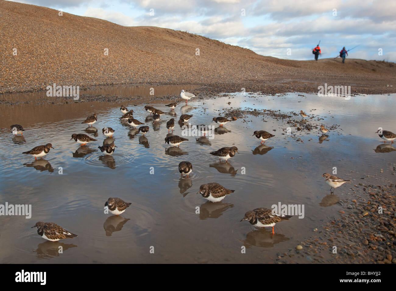 Turnstones Arenaria interpres feeding in pool behind the shingle sea wall - Stock Image