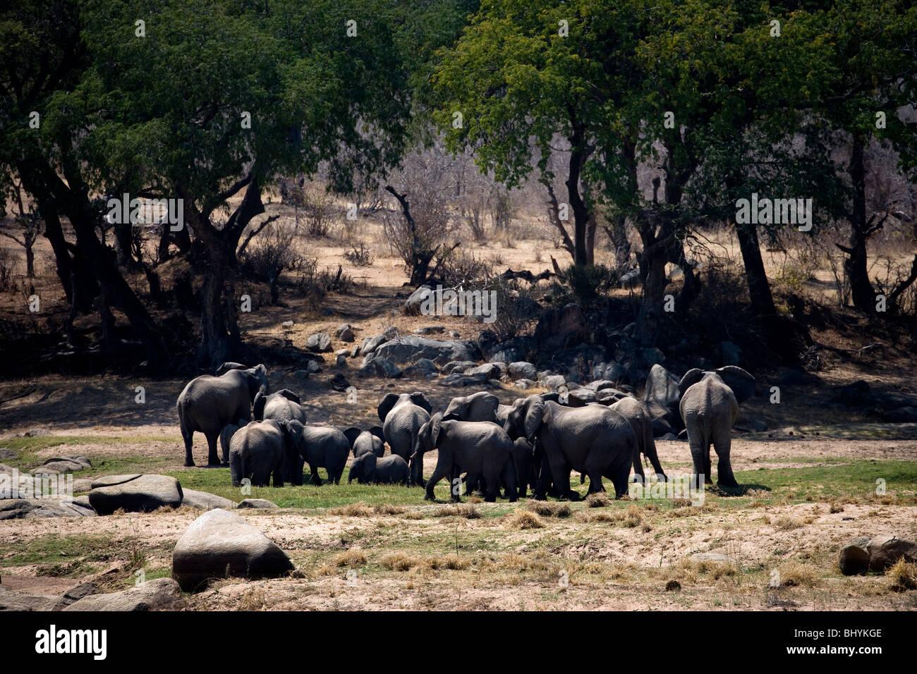 Family of elephants, Ruaha NP, Tanzania, East Africa - Stock Image