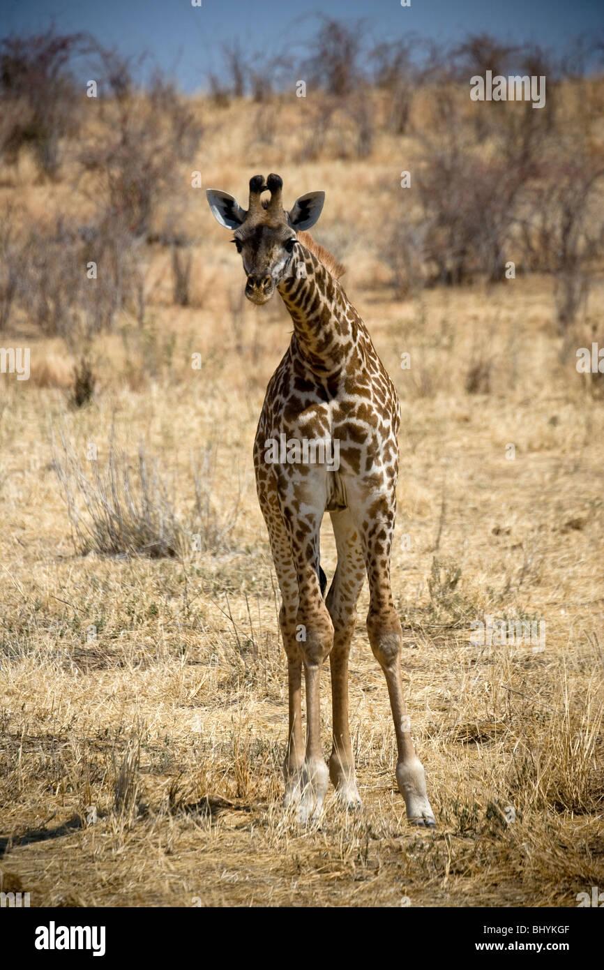 Young Masai Giraffe, Ruaha NP, Tanzania, East Africa - Stock Image