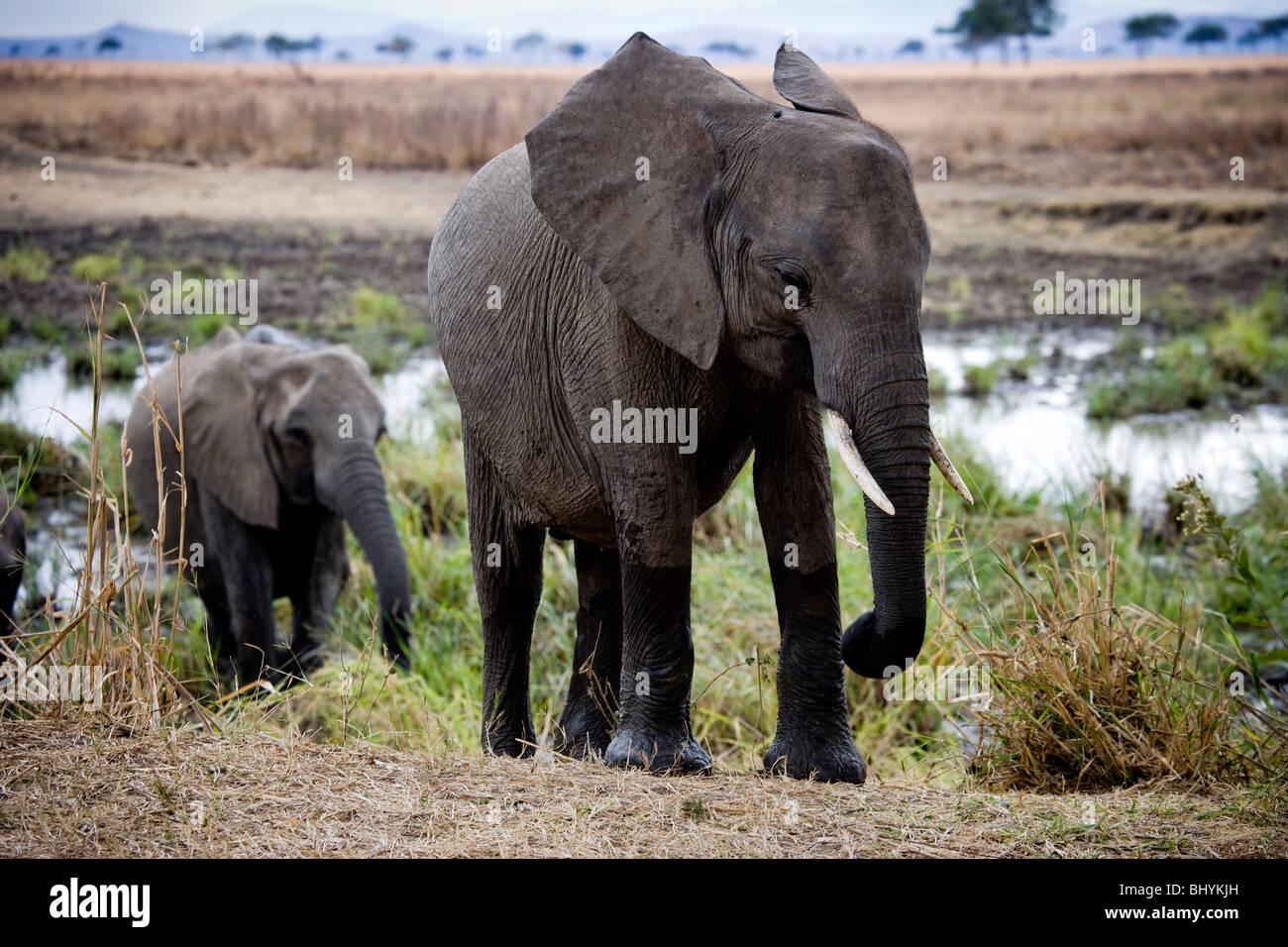 Family of elephants, Mikumi NP, Tanzania, East Africa - Stock Image