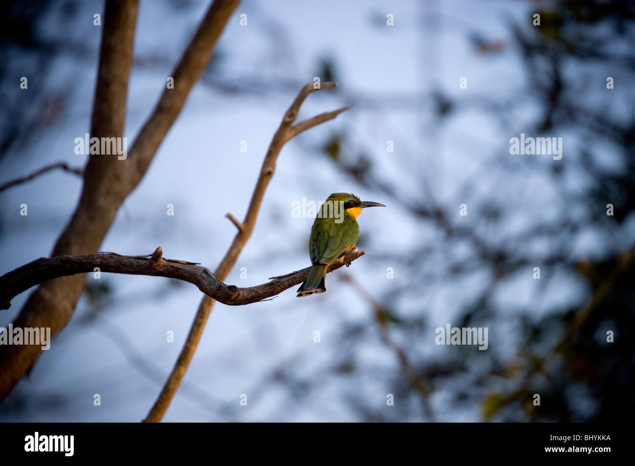 Little Bee-Eater, Mikumi NP, Tanzania, East Africa - Stock Image