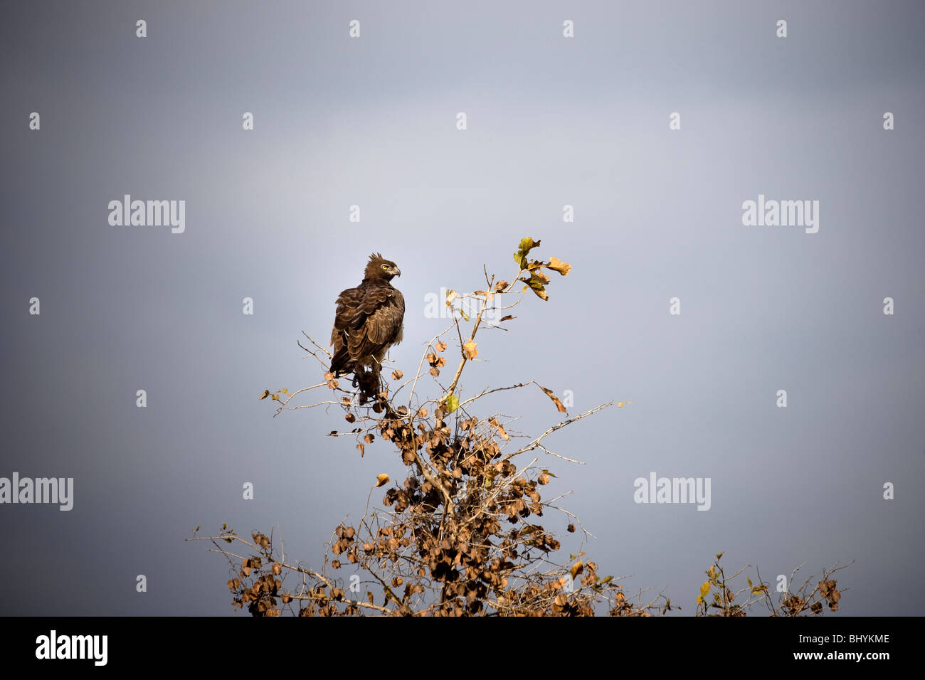 Martial Eagle, Mikumi NP, Tanzania, East Africa - Stock Image