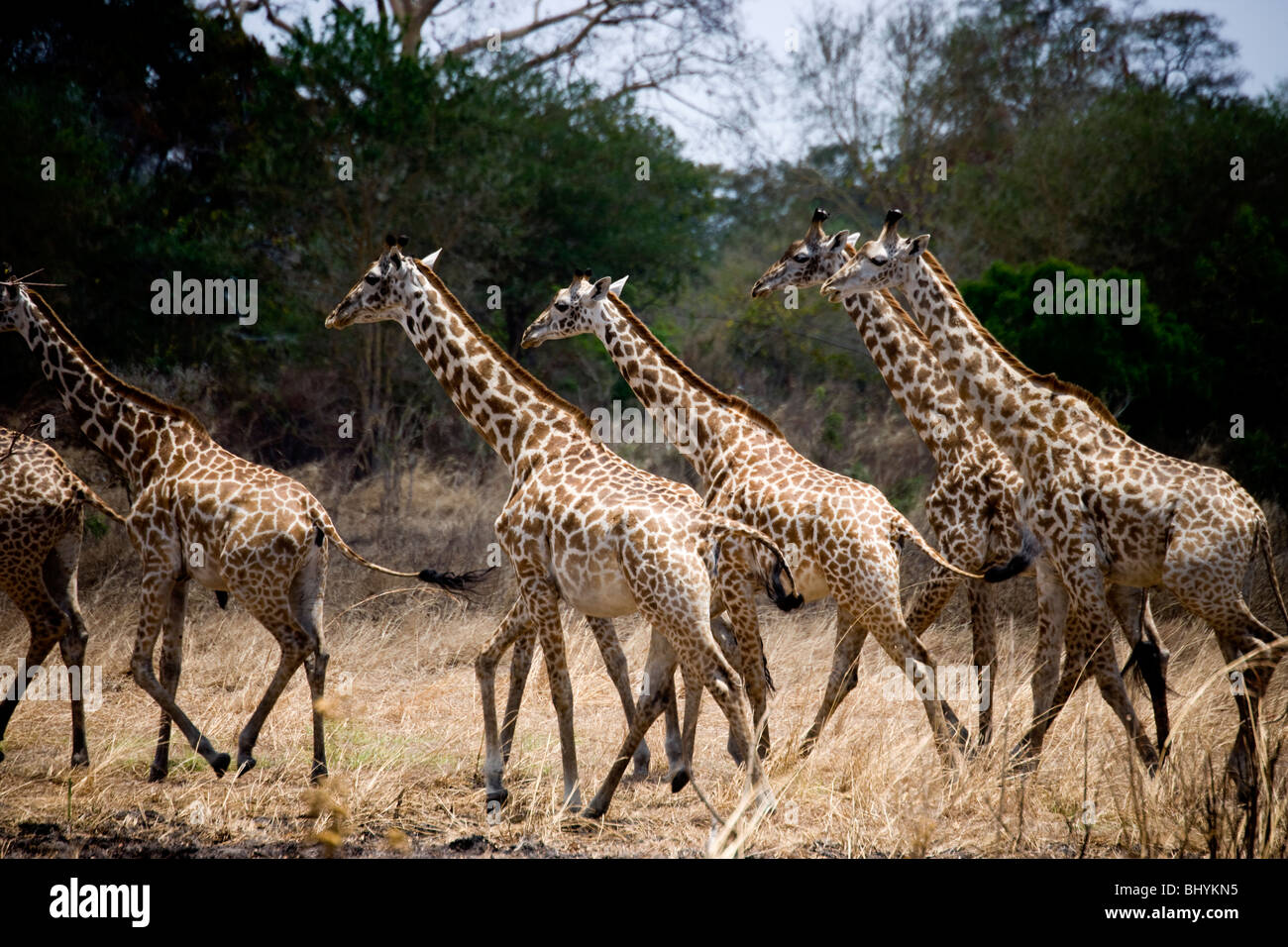 Masai Giraffe, Mikumi NP, Tanzania, East Africa Stock Photo