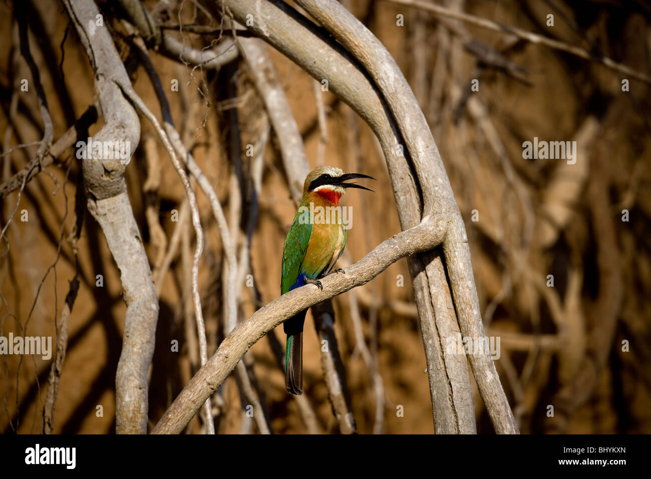 White-Fronted Bee-Eater, Selous Game Reserve, Tanzania, East Africa - Stock Image