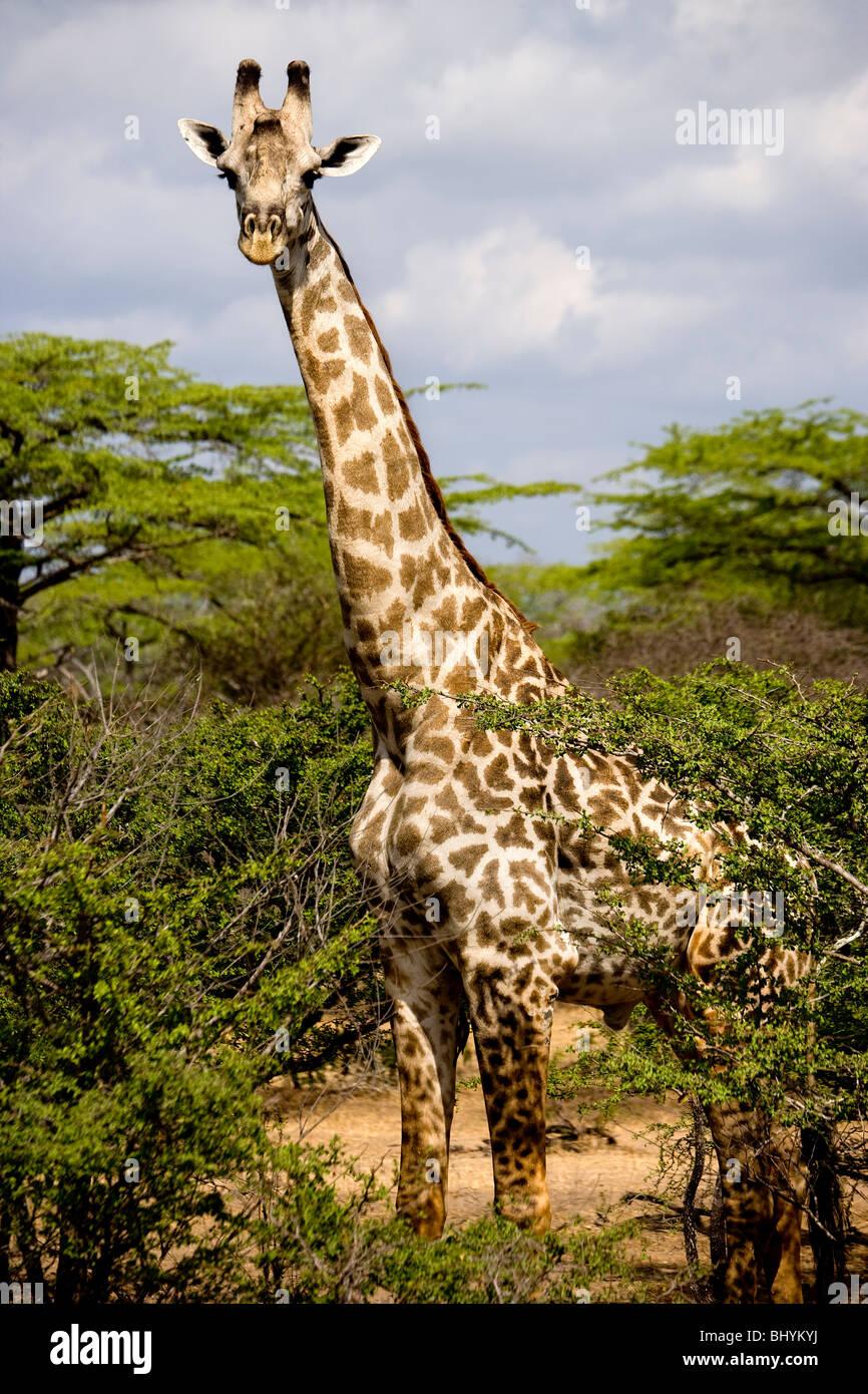 Masai Giraffe, Selous Game Reserve, Tanzania, East Africa - Stock Image