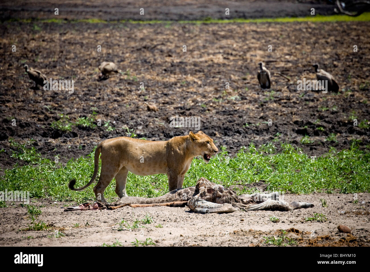 Young male lion, Selous Game Reserve, Tanzania, East Africa - Stock Image