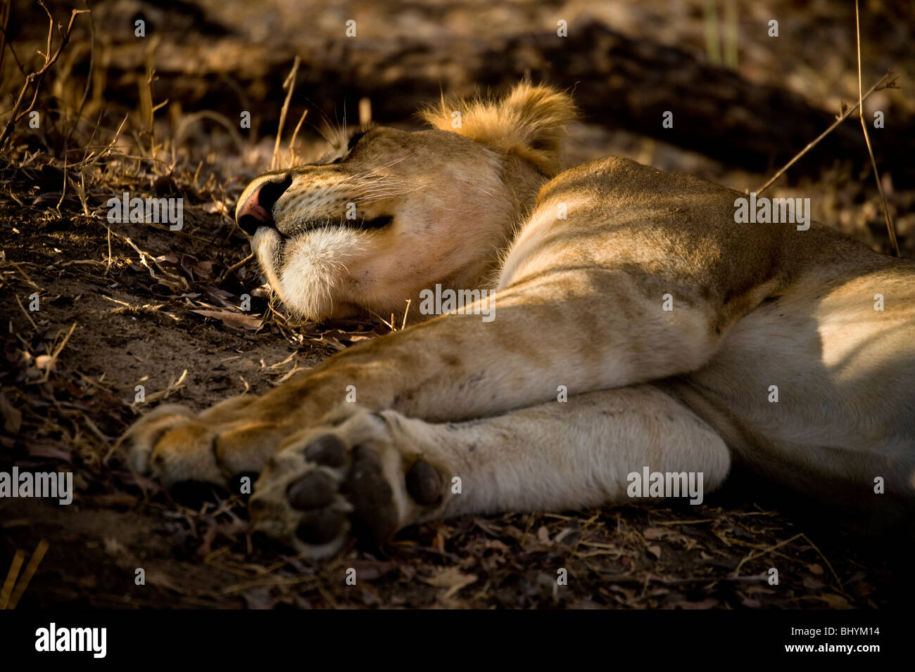 Sleeping lion, Selous Game Reserve, Tanzania, East Africa - Stock Image
