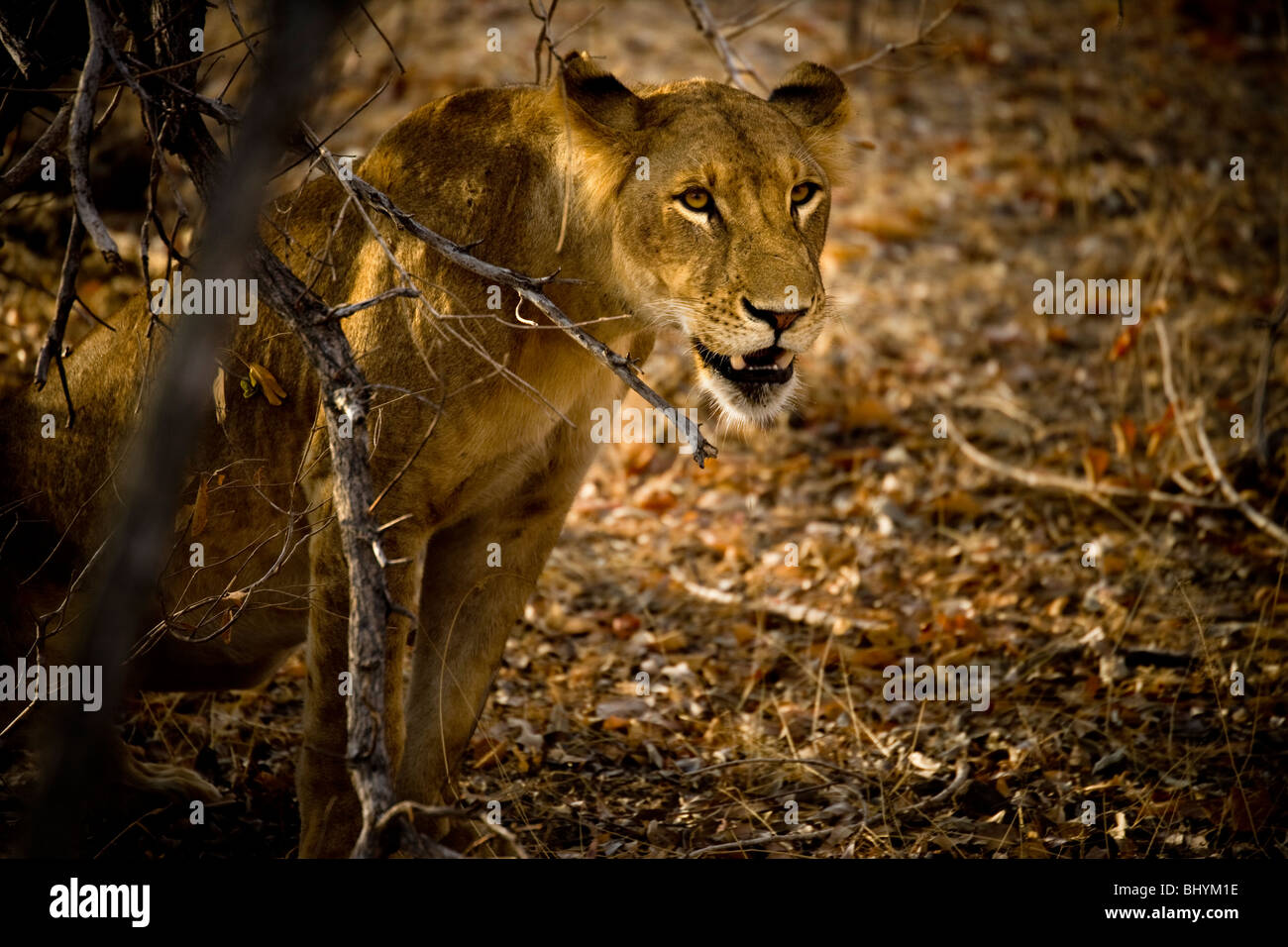 Lioness, Selous Game Reserve, Tanzania, East Africa - Stock Image